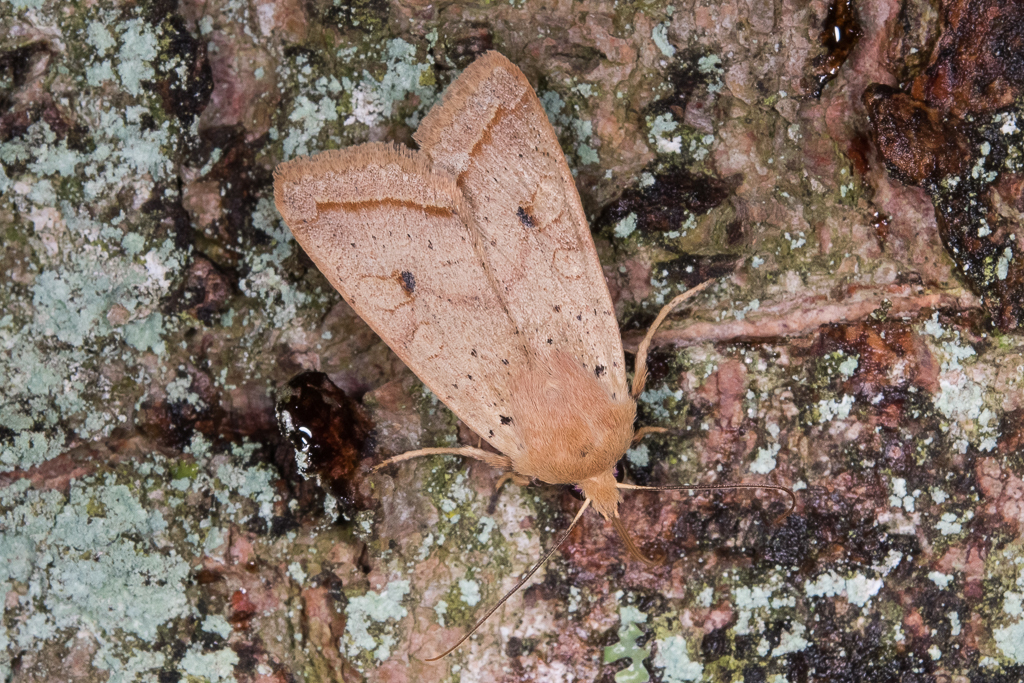 Leptologia macilenta - Catalogue of the Lepidoptera of Belgium