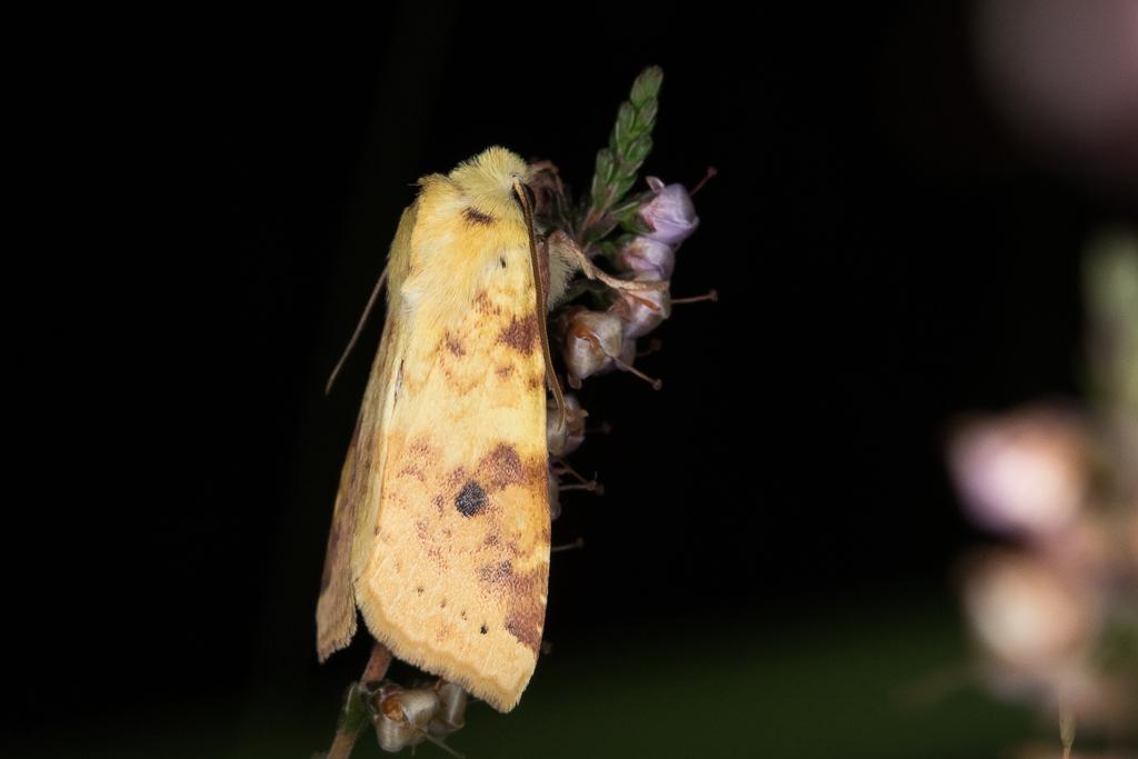 Xanthia icteritia - Catalogue of the Lepidoptera of Belgium
